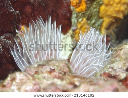 Christmas Tree Worm live on hard coral with dark background. - stock photo
