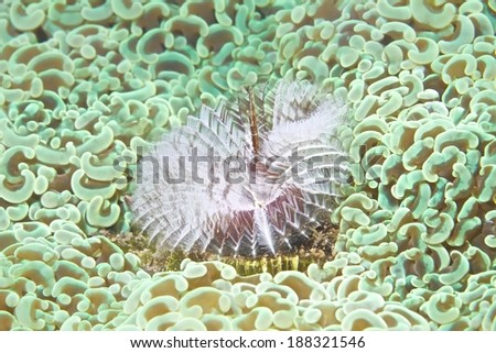 Christmas Tree Worm live with Anchor coral(Euphyllia anoora).  - stock photo