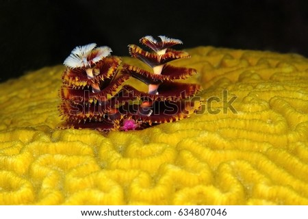 Christmas tree worm underwater macro life. Hard coral reef with close up tree worm in exotic sea. Scuba diving and macro photography on the tropical coral reef. Black background.