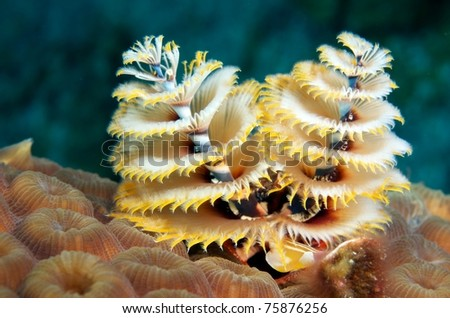 Christmas Tree Worms, Macro - stock photo