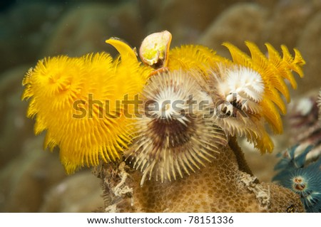 Christmas tree worms on coral reef - stock photo