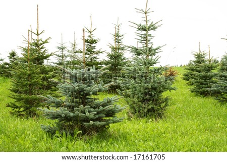 Christmas trees growing in a landscaped garden - stock photo
