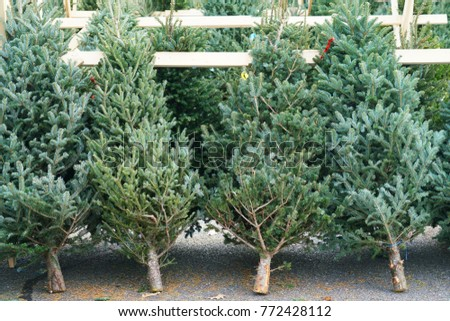 christmas trees in the farm market for sale in holiday season - Christmas Tree Farms For Sale