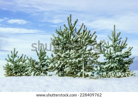 Christmas trees in winter forest - stock photo