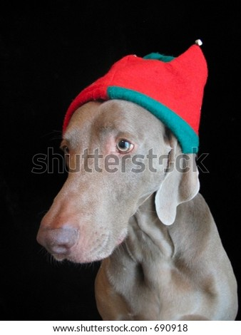 Christmas Weimaraner Dog Elf Hat Merry - stock photo