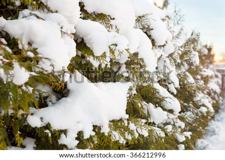 Christmas, winter background with frosty thuja tree. Thujas branch and snow. - stock photo