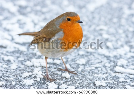 Christmas Winter Robin Alert on Snowy Ground