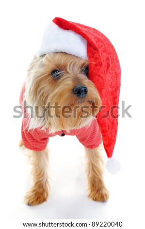 Christmas yorkie in Santa Claus hat. Isolated on white background - stock photo
