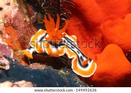 Chromodoris Annae- Beautiful Nudibranch - stock photo