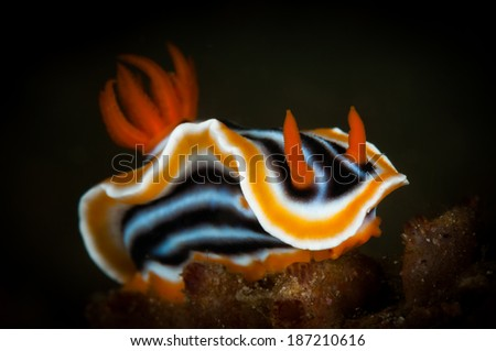 Chromodoris magnifica nudibranc on the Makawide 2 dive site, Lembeh Straits, North Sulawesi, Indonesia - stock photo