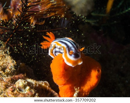 Chromodoris Magnifica Nudibranch climbing on Orange Sponge, Philippines