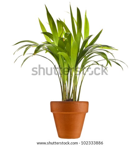 Chrysalidocarpus lutescens palm tree in flowerpot isolated on white background