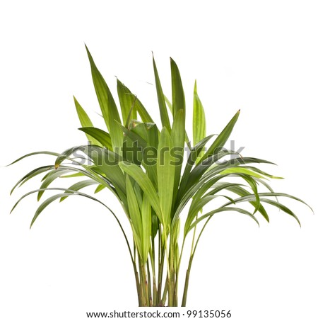 Chrysalidocarpus lutescens palm tree isolated on white - stock photo
