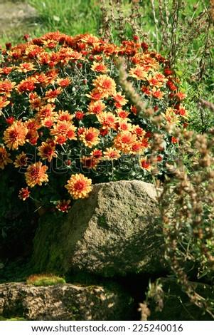 Chrysanthemum autumn flowers. Decoration in garden. - stock photo