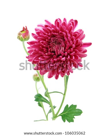 Chrysanthemum blooming - stock photo