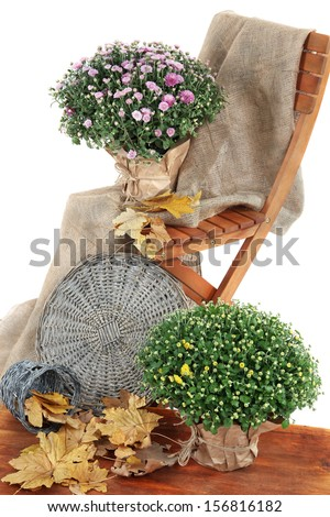 Chrysanthemum bushes in pots with yellow leaves and chair isolated on white - stock photo