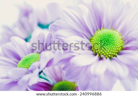 chrysanthemum, close up, Soft color background - stock photo