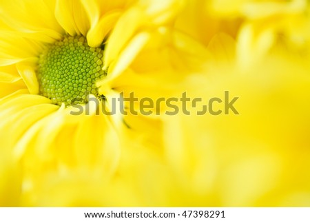Chrysanthemum floral template - stock photo