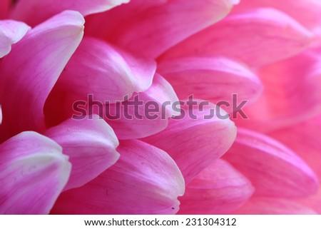 Chrysanthemum flower,closeup of red Chrysanthemum flower in full bloom  - stock photo
