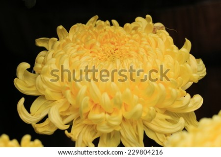 Chrysanthemum flower,closeup of yellow Chrysanthemum flower in full bloom with black background   - stock photo