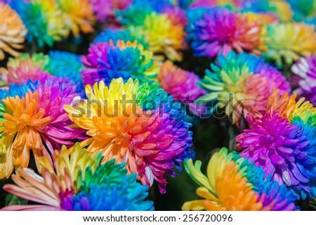 Chrysanthemum flower 7 color in full bloom - stock photo