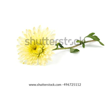 Chrysanthemum flower on a white background