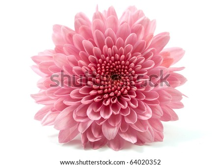 chrysanthemum flower on a white background - stock photo