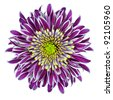Chrysanthemum Flower Purple with Lime Green White Center Isolated on White Background - stock photo