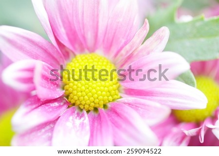 Chrysanthemum flowers - stock photo