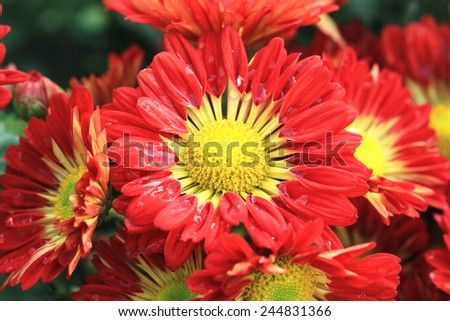 Chrysanthemum flowers and raindrop,beautiful red with yellow chrysanthemum flowers blooming in the garden