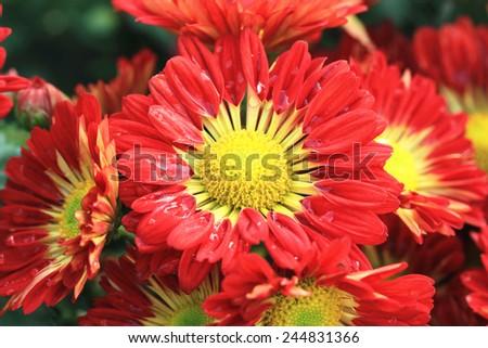 Chrysanthemum flowers and raindrop,beautiful red with yellow chrysanthemum flowers blooming in the garden - stock photo