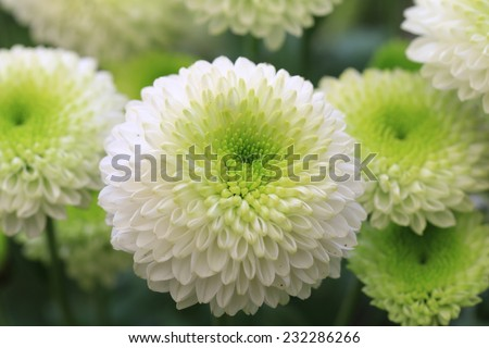 Chrysanthemum flowers,closeup of green with white Chrysanthemum flowers in full bloom  - stock photo