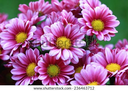 Chrysanthemum flowers,closeup of red with white Chrysanthemum flowers in full bloom  - stock photo