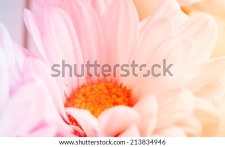Chrysanthemum in soft and blurred style for background