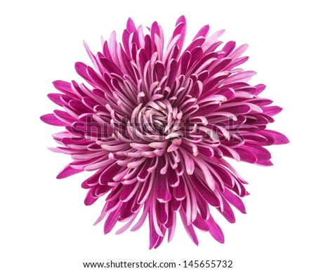 chrysanthemum isolated on a white background - stock photo