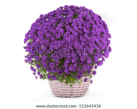 Potted Mums Stock Images, Royalty-Free Images & Vectors ...