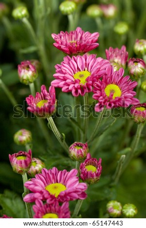 Chrysanthemum morifolium bouquet, Chonburi Thailand - stock photo