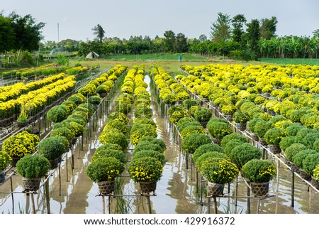Chrysanthemum morifolium is regional specialties in Sa Dec City, a famous place for floriculture in Vietnam. Florists here often plant flowers and harvest at the Lunar New Year to increase profits.