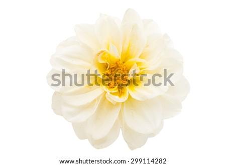 chrysanthemum on white background - stock photo