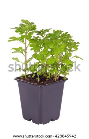 Chrysanthemum, sprouts in a plastic pot, isolated on white background - stock photo