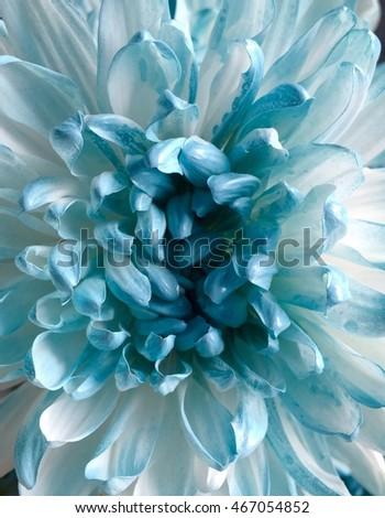 Chrysanthemum sweet backgrounds blurred