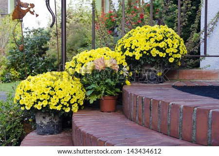 Chrysanthemums plants and flowers in pots on a doorstep leading to a garden or patio.