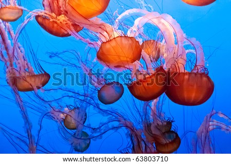 Chrysaora fuscescens is a common free-floating scyphozoa that lives in the Pacific Ocean, and is commonly known as the Pacific Sea Nettle or West Coast Sea Nettle. - stock photo