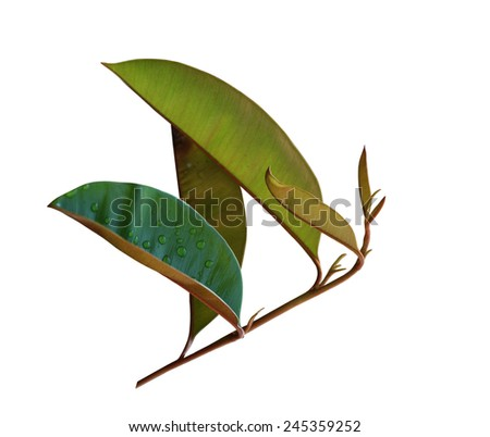 Chrysophyllum cainito leaf on branch isolated on white background - stock photo