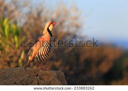 Chukar Partridge on the ground at sunrise - stock photo