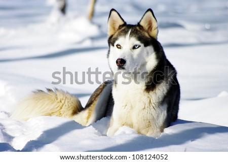 Chukchi husky breed dog on winter background - stock photo