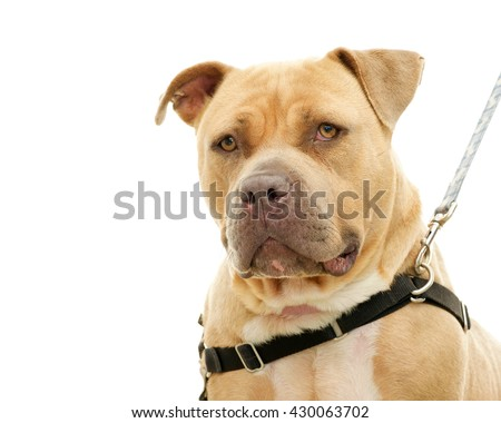 Chunky over weight light brown pit bull on a leash, portrait, isolated on white background. Big but friendly