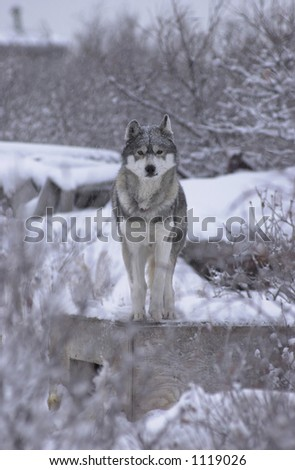 Churchill Northern Manitoba  Husky