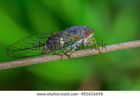 Cicada, beautiful insect on branch and green black background