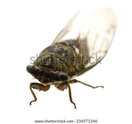 cicada insect in America - stock photo